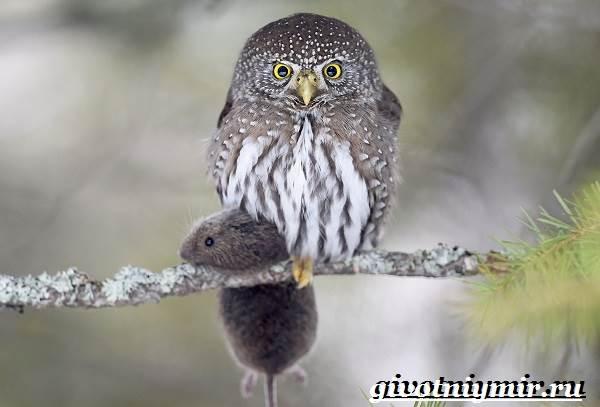 vorobinyj-sych-ptica-obraz-zhizni-i-sreda-obitaniya-vorobinogo-sycha-4.jpeg