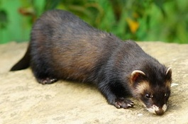 265px-Polecat_wildlife_centre_surrey.jpg