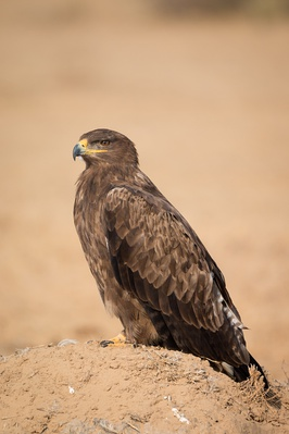 266px-Steppe_Eagle_Portrait.jpg