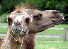220px-Bactrian.camel.twice.arp.jpg