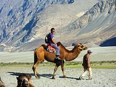 240px-Riding_Bactrian_camel_Nubra.jpg