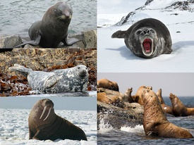 275px-Pinniped_collage.jpg