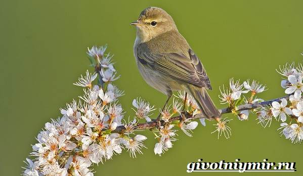 penochka-ptica-obraz-zhizni-i-sreda-obitaniya-penochki-1.jpg