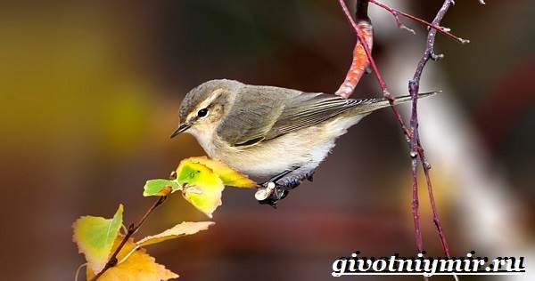 penochka-ptica-obraz-zhizni-i-sreda-obitaniya-penochki-2.jpg