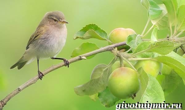 penochka-ptica-obraz-zhizni-i-sreda-obitaniya-penochki-3.jpg