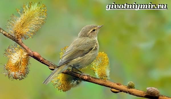 penochka-ptica-obraz-zhizni-i-sreda-obitaniya-penochki-4.jpg