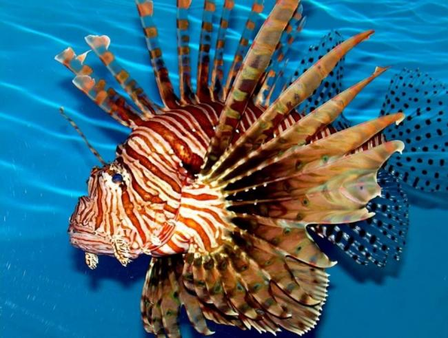Ryba-krylatka-1.jpg