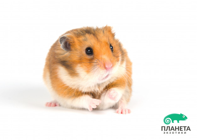 scared-syrian-hamster-on-a-white-background_124337-529.jpg
