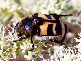 trichius-fasciatus_small_01.jpg