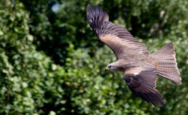 Хищные-птицы-России-Чёрный-коршун-622x379.jpg
