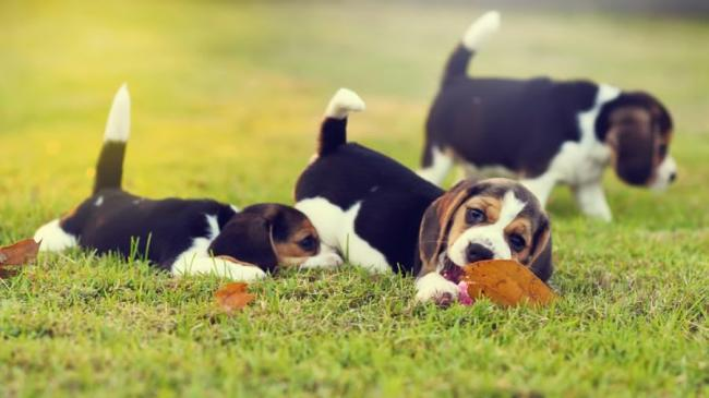 1523547439_beagle.jpg
