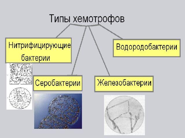 2-hemotrofy.jpg