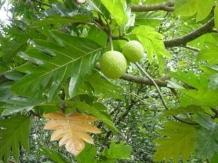 breadfruit%20hlebnoe%20derevo.jpg