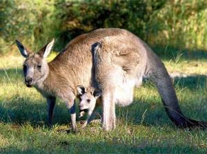 Размножение-кенгуру-300x224.jpg