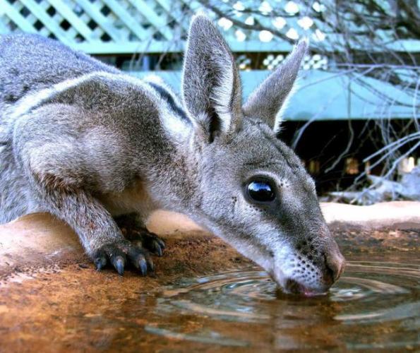 korotkokogotnyj-kenguru.jpg