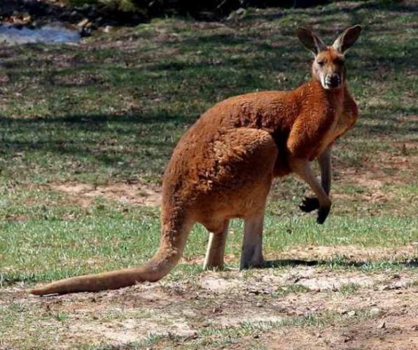 bolshoj-ryzhij-kenguru.jpg