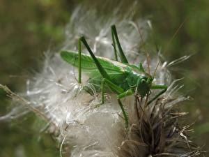 Grasshoppers_Insects_Closeup_Green_600573_600x450.jpg
