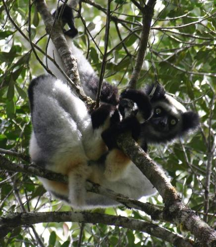 Indri_Indri-e1411994801909.jpg