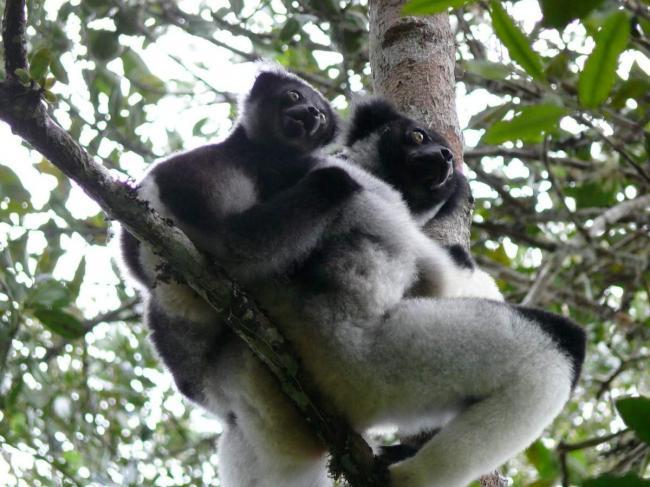 Indri-bebe-e1411994789427.jpg