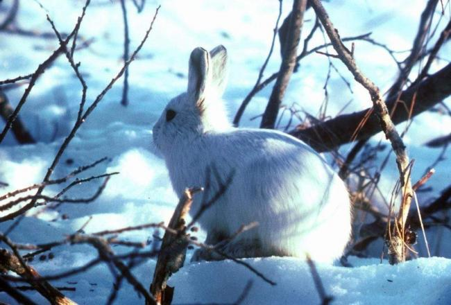 Arctic_hare_in_snow_and_bushes_lepus_arcticus-e1414839037920.jpg