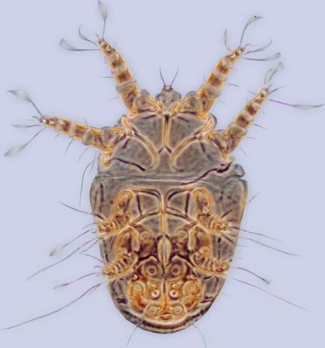 Horstiella_megamyzidos_holotype_BMOC_96-0916-039-e1414679681644.jpg