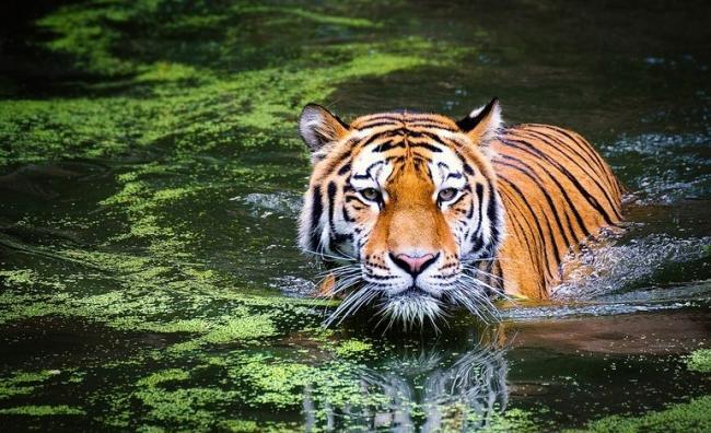 tiger-2535888_960_720-770x470.jpg