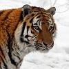 skolko-ostalos-amurskix-tigrov-v-rossii.jpg