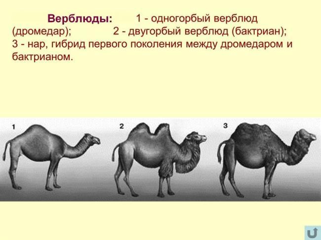 Сколько горбов будет у верблюжонка, если его родители двугорбый и одногорбый верблюды