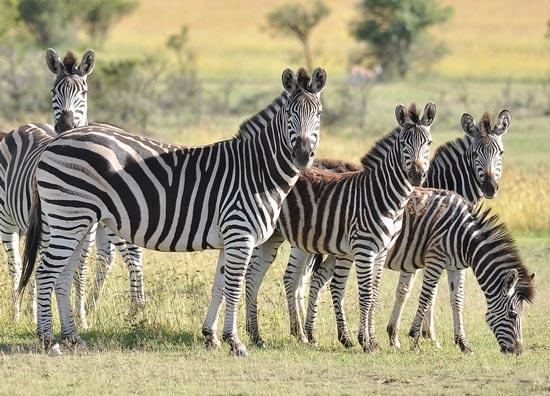 doklad-zebra-opisanie-dlya-detej-1-2-3-5-7-klass.jpg