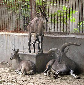275px-Rook_goat.jpg