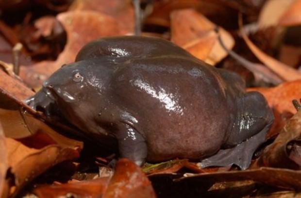 purpurnaya-lyagushka-ili-lilovaya-lyagushka-lat-nasikabatrachus-sahyadrensis-angl-purple3.jpg