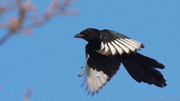 150514171118_magpie_flying_624x351_stefanberndtssonccby2.0_nocredit.jpg