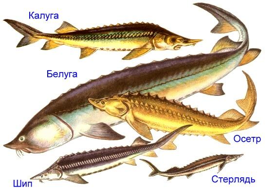 Osetrovye-ryby-min.png