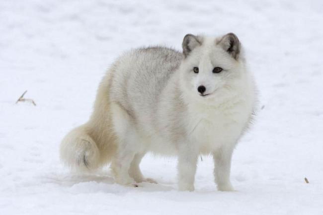 Arctic_Fox-min.jpg