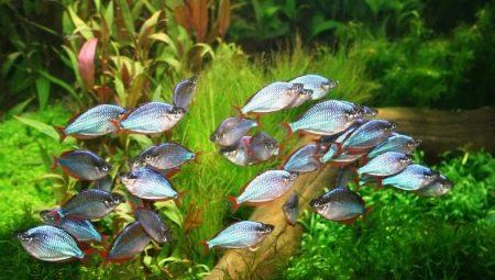 raduzhnicy-vidy-akvariumnyh-rybok-i-osobennosti-ih-soderzhaniya.jpg
