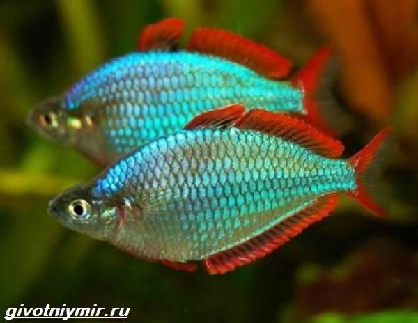raduzhnica-rybka-opisanie-uxod-vidy-i-sovmestimost-raduzhnicy-4.jpg
