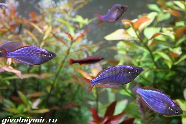 raduzhnica-rybka-opisanie-uxod-vidy-i-sovmestimost-raduzhnicy-5.jpg