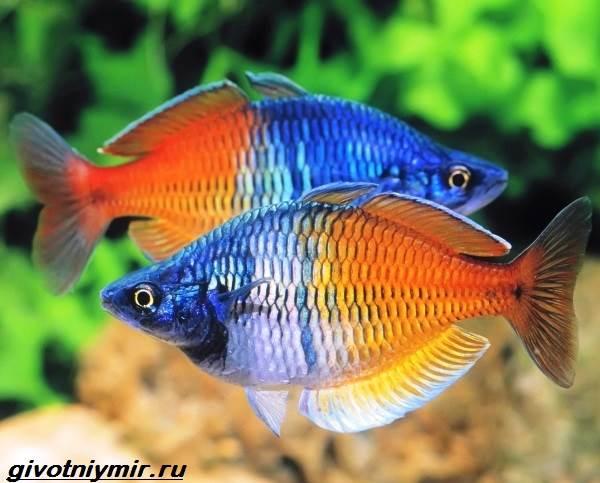 raduzhnica-rybka-opisanie-uxod-vidy-i-sovmestimost-raduzhnicy-1.jpg