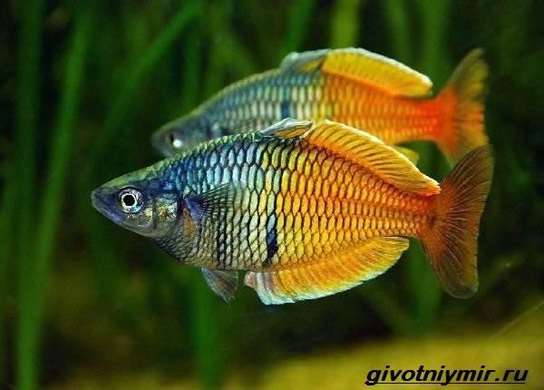raduzhnica-rybka-opisanie-uxod-vidy-i-sovmestimost-raduzhnicy-2.jpg