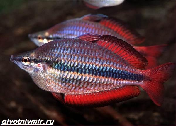 raduzhnica-rybka-opisanie-uxod-vidy-i-sovmestimost-raduzhnicy-6.jpg