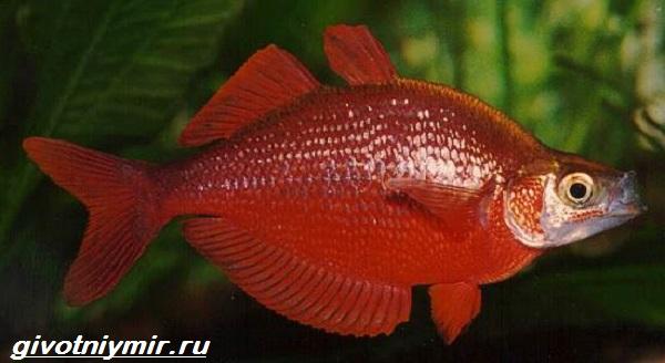 raduzhnica-rybka-opisanie-uxod-vidy-i-sovmestimost-raduzhnicy-8.jpg