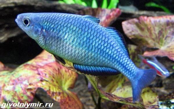 raduzhnica-rybka-opisanie-uxod-vidy-i-sovmestimost-raduzhnicy-9.jpg