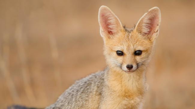 yuzhnoafrikanskaya-lisica.jpg