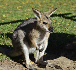doklad-soobshhenie-kenguru-dlya-detej-1-2-3-4-5-7-klass-po-biologii-1.jpg