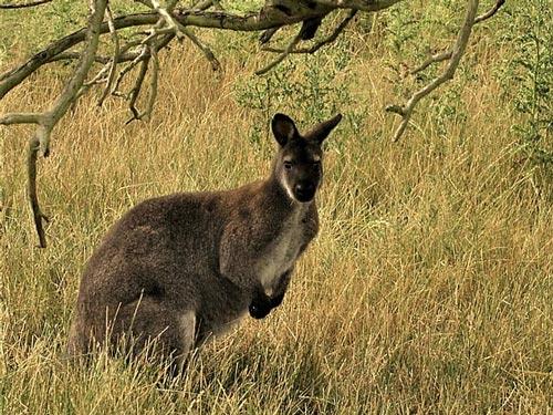 doklad-soobshhenie-kenguru-dlya-detej-1-2-3-4-5-7-klass-po-biologii.jpg