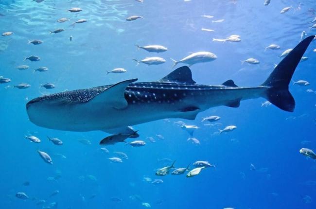 51_whale_shark-e1412159361267.jpg?1550510491