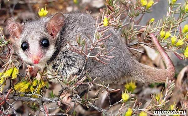 opossum-zhivotnoe-obraz-zhizni-i-sreda-obitaniya-opossuma-14.jpg