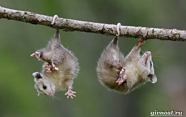 opossum-zhivotnoe-obraz-zhizni-i-sreda-obitaniya-opossuma-17.jpg