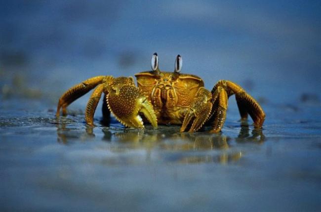 chernomorskij-krab-vidy-i-sposoby-prigotovleniya-2.jpg