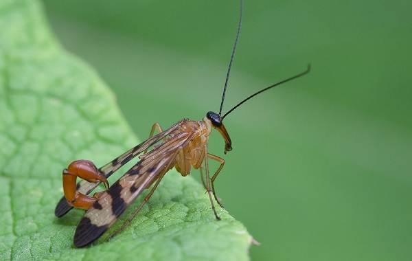 skorpionnitsa-muha-opisanie-osobennosti-obraz-zhizni-i-sreda-obitaniya-skorpionnitsy-1.jpg